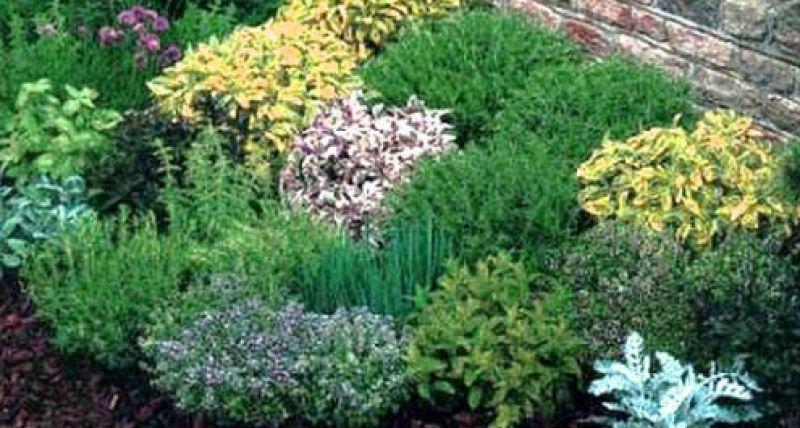 Delle erbe aromatiche dai giardini dalle ville e for Erbe aromatiche in vaso